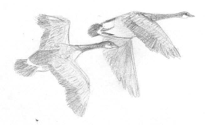 Wild Geese Drawing Geese